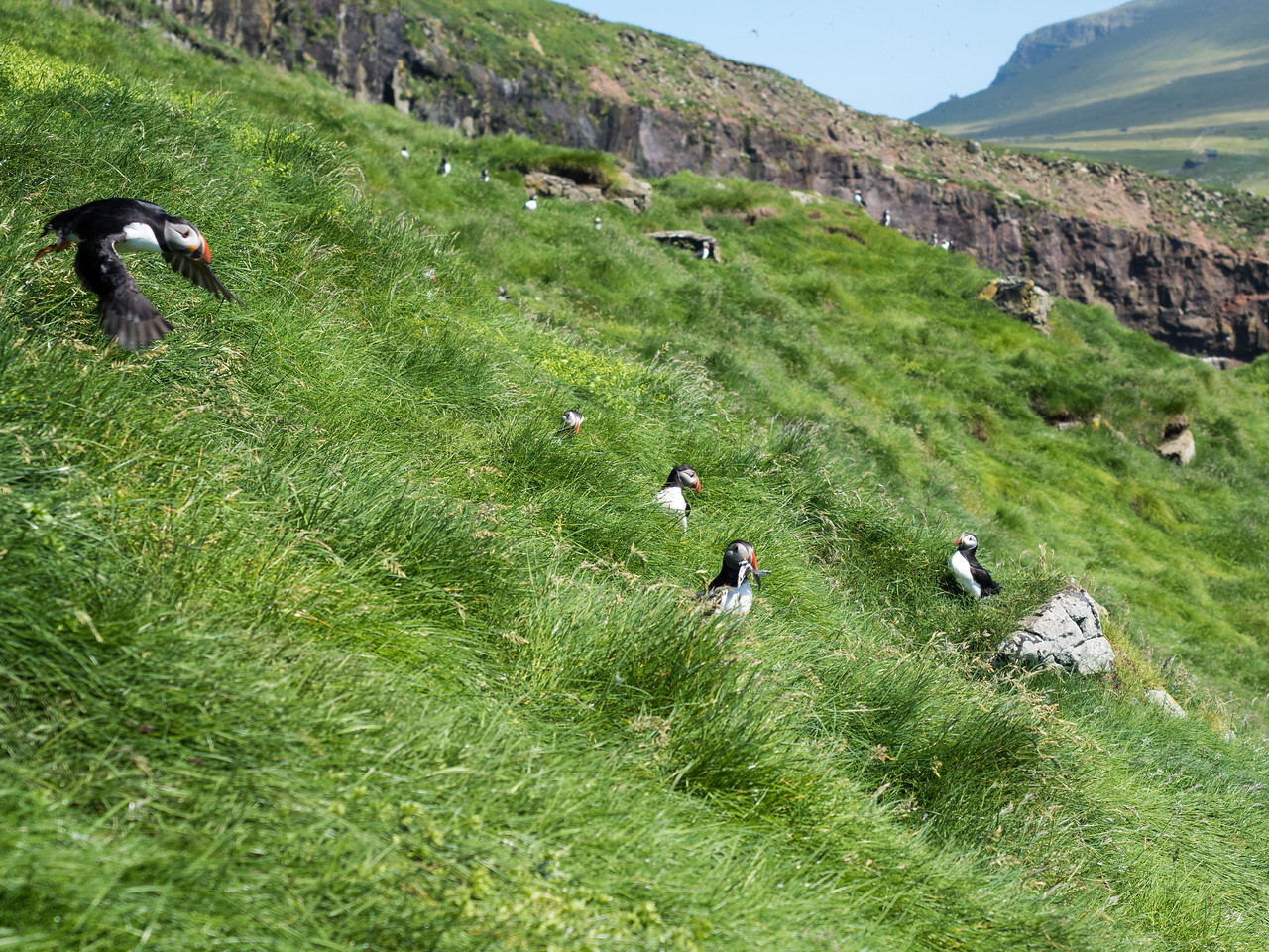 Puffin nests on Mykines