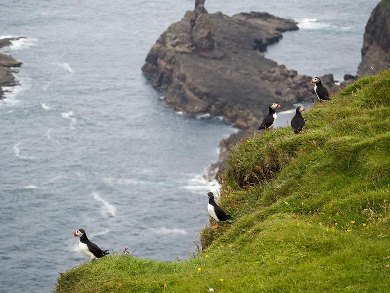 Mykines puffins in the Faroe Islands