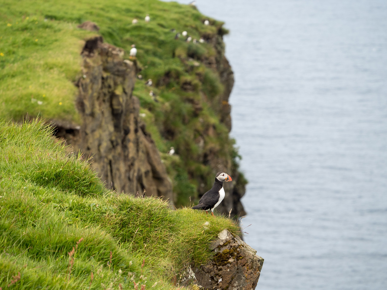 Majestic puffin on Mykines