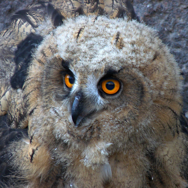 Eurasian eagle owl, Mannerheimintie, Helsinki.  In 2011 a nest with three hatchlings was discovered on a building along one of the main avenues in Helsinki.  The owlets are huge, as this is about the largest species of owl.  This one had tried out its wings and landed on the sidewalk, drawing a crowd before it was collected by guards and put back in its nest.
