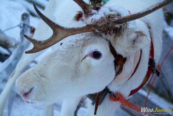 A member of our reindeer caravan
