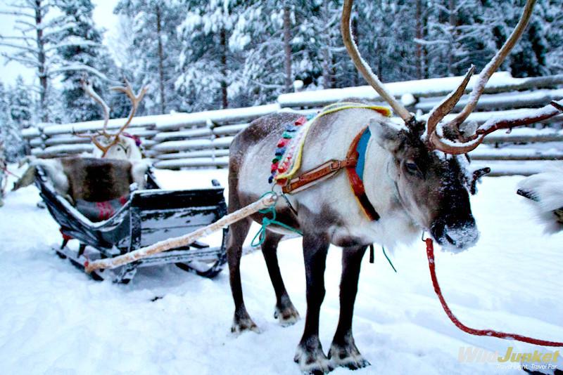 A reindeer caravan