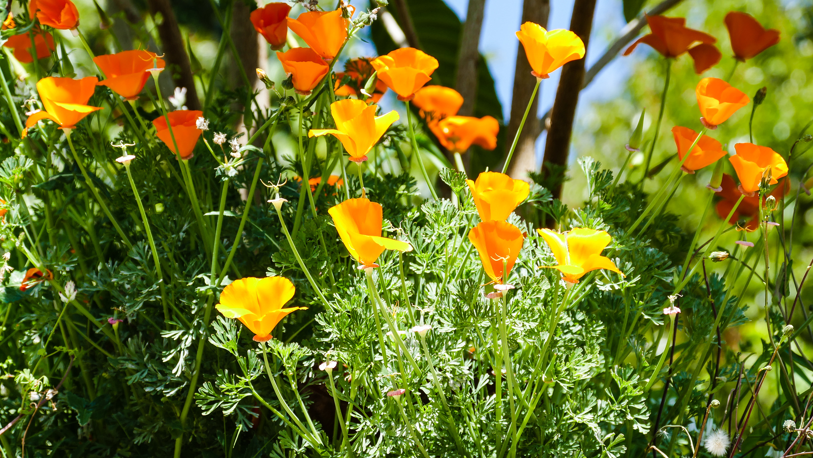 orage and yellow poppy flowers in a field