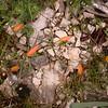 Pr 1947 Tulipa australis op Plateau de Siou-Blanc