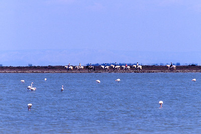 Greater Flamingo (Phoenicopterus roseus) is the most widespread species of the flamingo family.  Trail riders on Camargue white horses in the background.