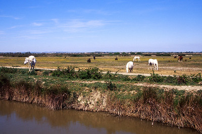 Camargue white horses graze along side one of the many canals in the Camargue delta