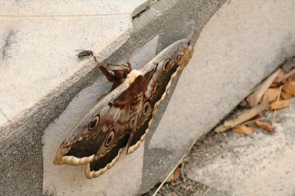 Saturnia Pyri Moth - Bearn, France