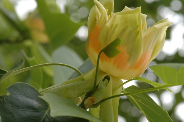 Virginia Tulip Tree - Bearn, France