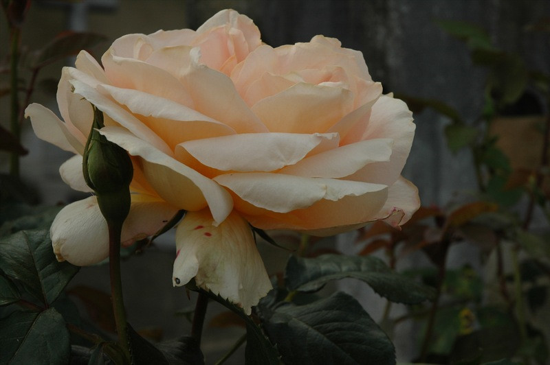 Perfect Rose - Bearn, France