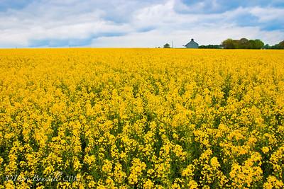Picplanet photo keywords yellow flower fields yellow flower fields in france mightylinksfo Images