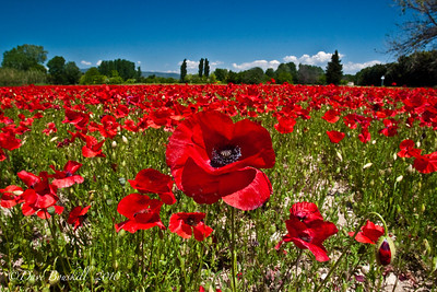 Poppy Fields in Provence, France