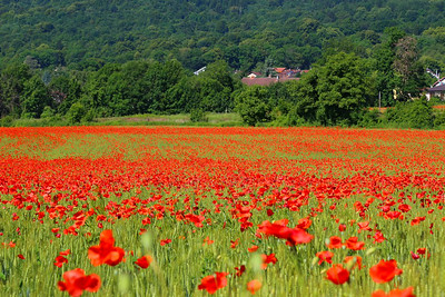 Poppy Fields at Fargs near Geneva  11/08/14
