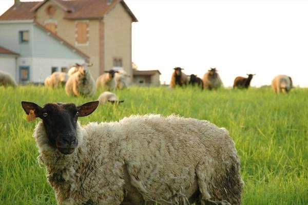 Village Sheep - Mouhous, France