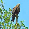 La Roque-Gageac - Hawk