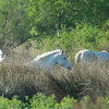 Wild horses and Cattle Egret