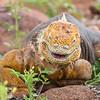Happy Land Iguana