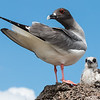 Swallow-Tailed Gull and Chick
