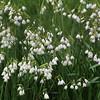 Bad Homburg Germany, Snowflake Spring Flowers in Kurpark