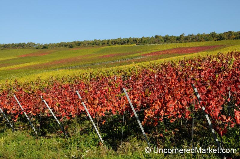 Colorful Vineyard Leaves in Eibelstadt, Germany