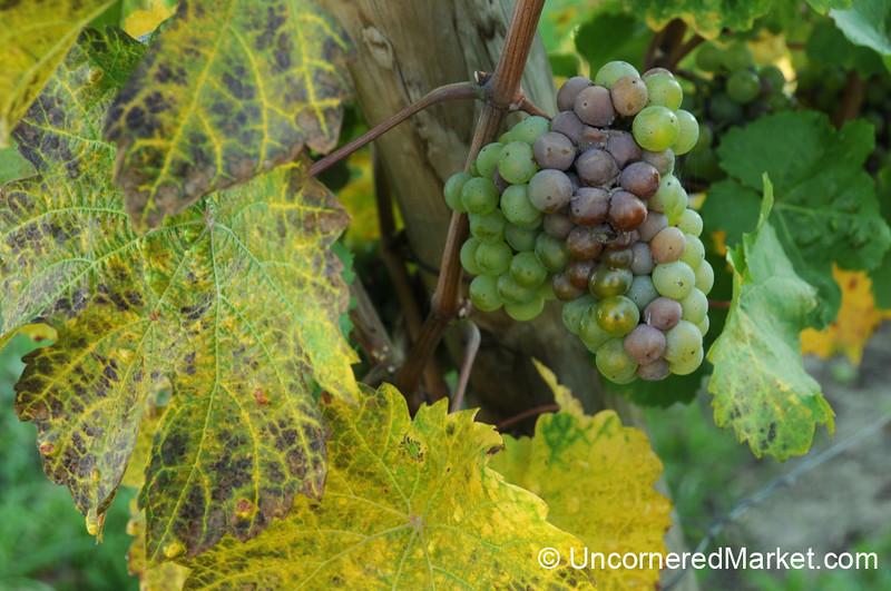 Grapes Ripening on the Vine - Frickenhausen, Germany