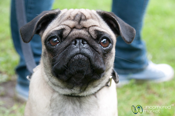 Pug Face - Berlin, Germany