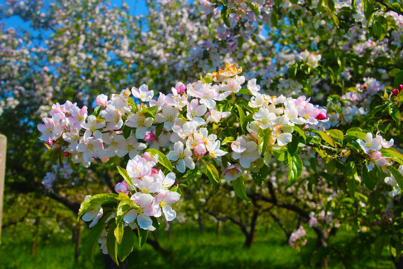 Frankfurt Germany, Schneider Obsthof am Steinberg, apple trees in full bloom