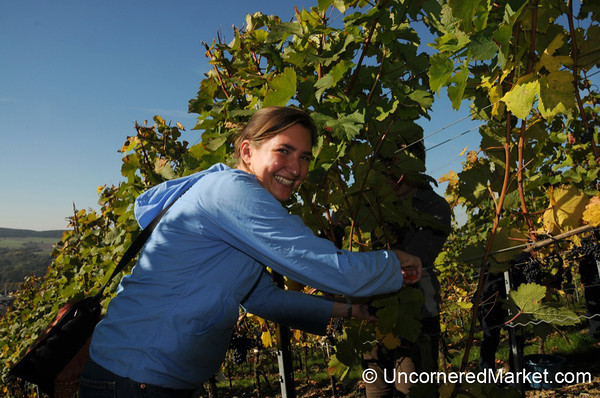 Cutting Away the Grapes - Thüngersheim, Germany