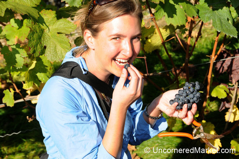 Audrey Sneaks In Some Grape Eating at German Wine Harvest Event