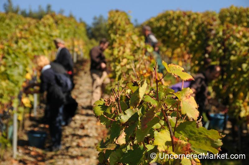 Grape Harvest Time in the Wine Region near Wurzburg