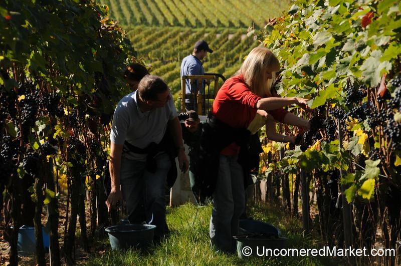 Harvest Time in the Vineyards Near Thüngersheim, Germany