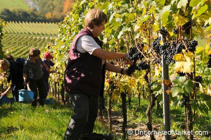 Picking Grapes on Sloped Vineyards - Thüngersheim, Germany