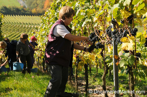 Picking Grapes on Sloped Vineyards - Thüngersheim, Germany