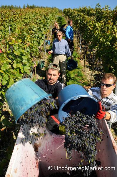 A Mighty Grape Harvest - Thüngersheim, Germany