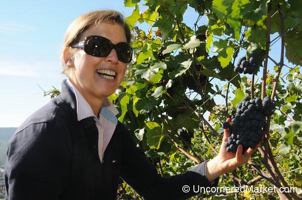 Carefully Handling the Grapes - Thüngersheim, Germany