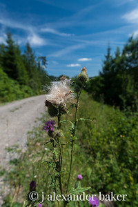 Thistle in the Black Forest, Gompelsheuer, Germany