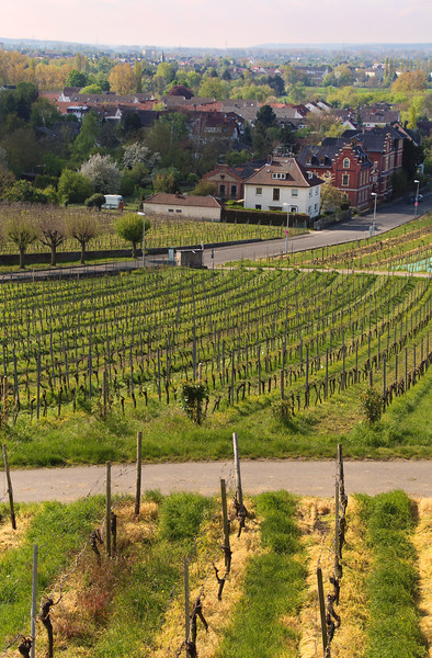 Hochheim Germany, View Onto Wineyards from Churchyard