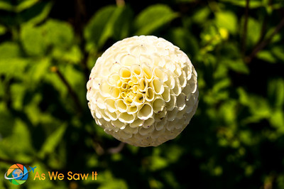 Floating magically is this Chrysanthemum flower head.