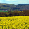 Rüdesheim Germany,  Fields of Canola Flowers