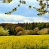 Rüdesheim Germany,  Spring View on Canola Fields