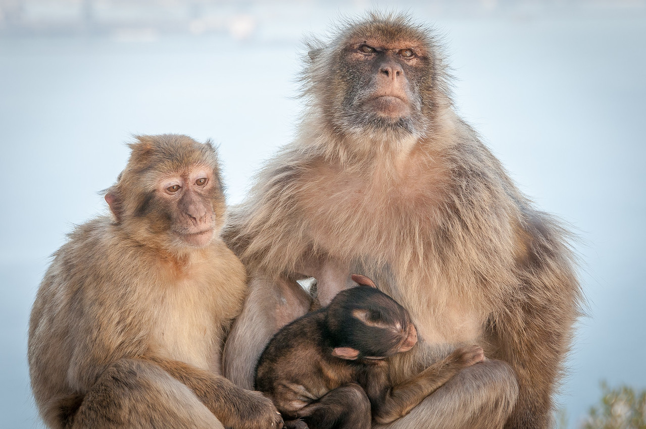 A family of apes at the zoo in Gibraltar