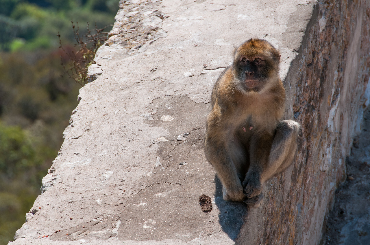 A young ape sits on a stone wall in Gibraltar
