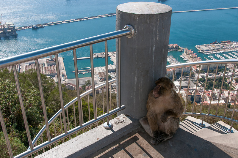 Ape hiding behind the shadow in Gibraltar