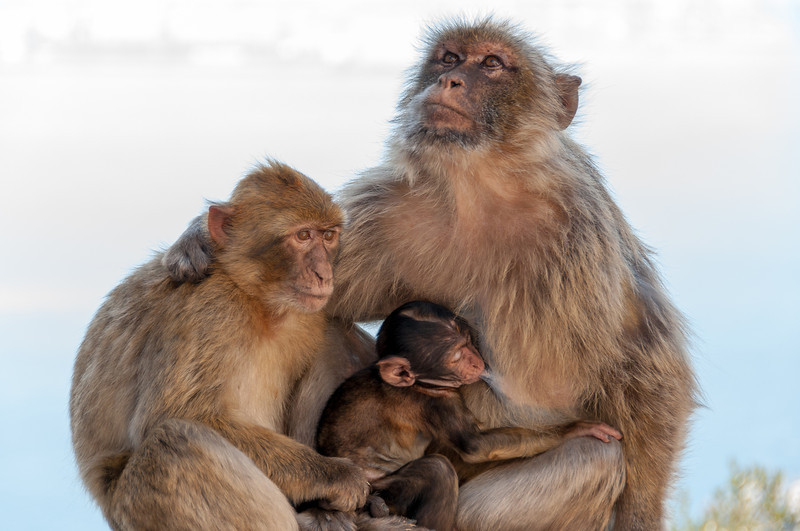 Warm moment of the apes family spotted in the zoo - Gibraltar