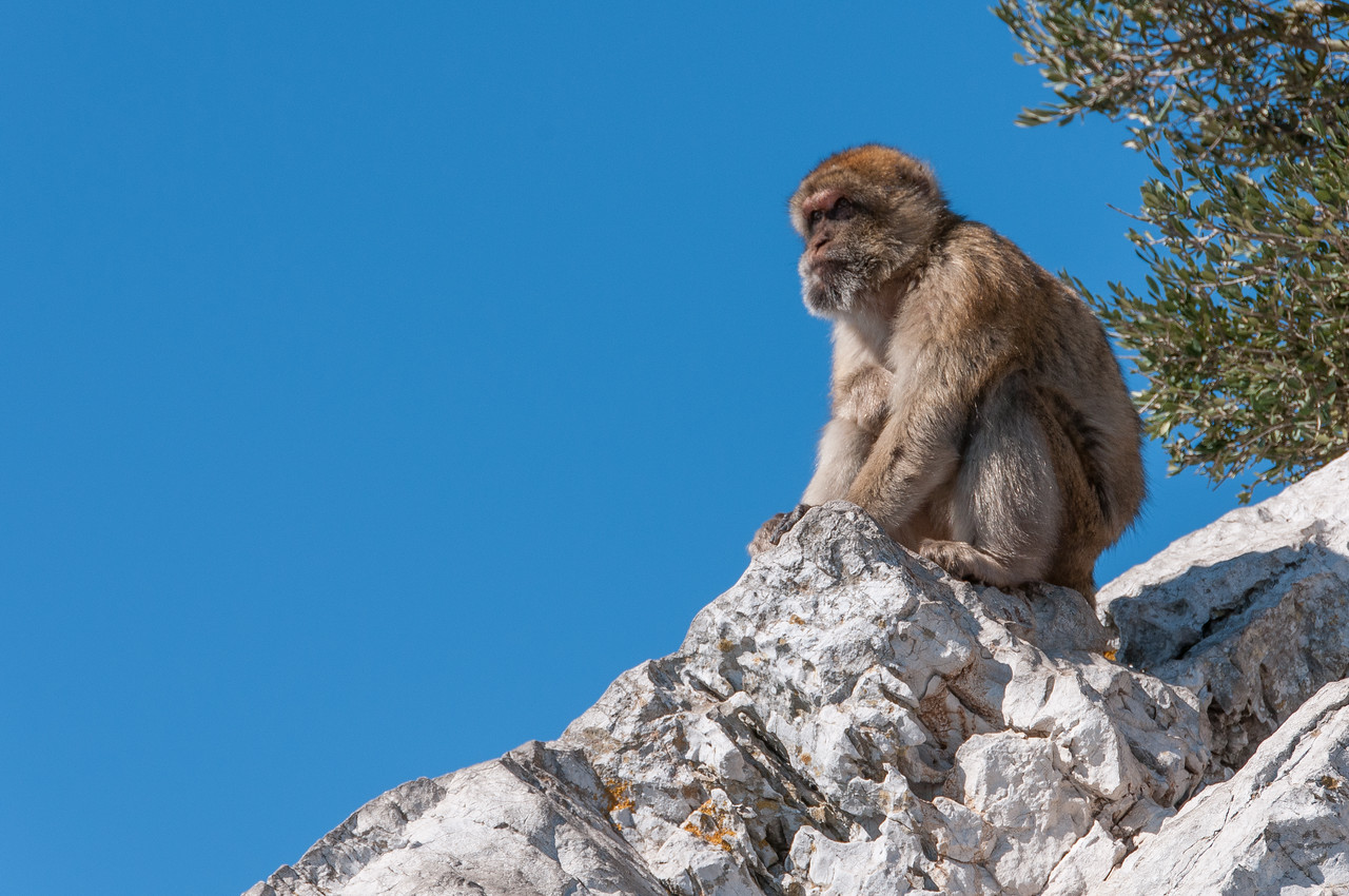 An ape sits on top of a rock in Gibraltar