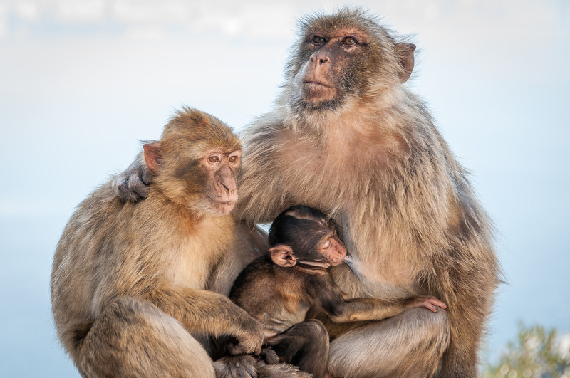 A close-up shot of apes family in the zoo - Gibraltar