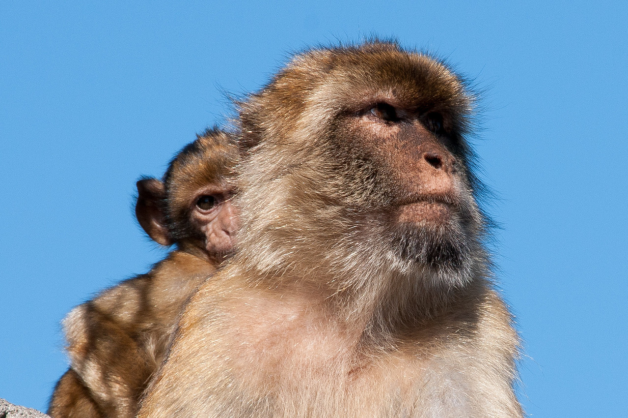 Close-up shot of an ape carrying its baby on the back in Gibraltar