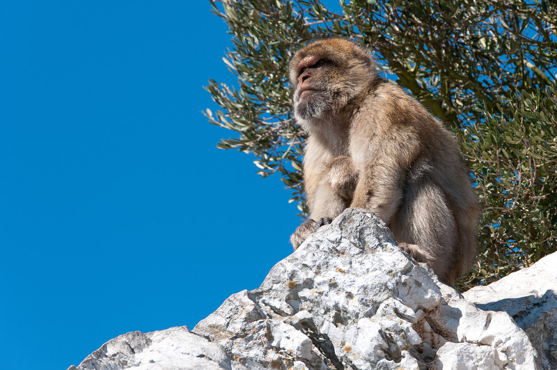 Closer shot of an ape sitting atop rocks on a cliff in Gibraltar