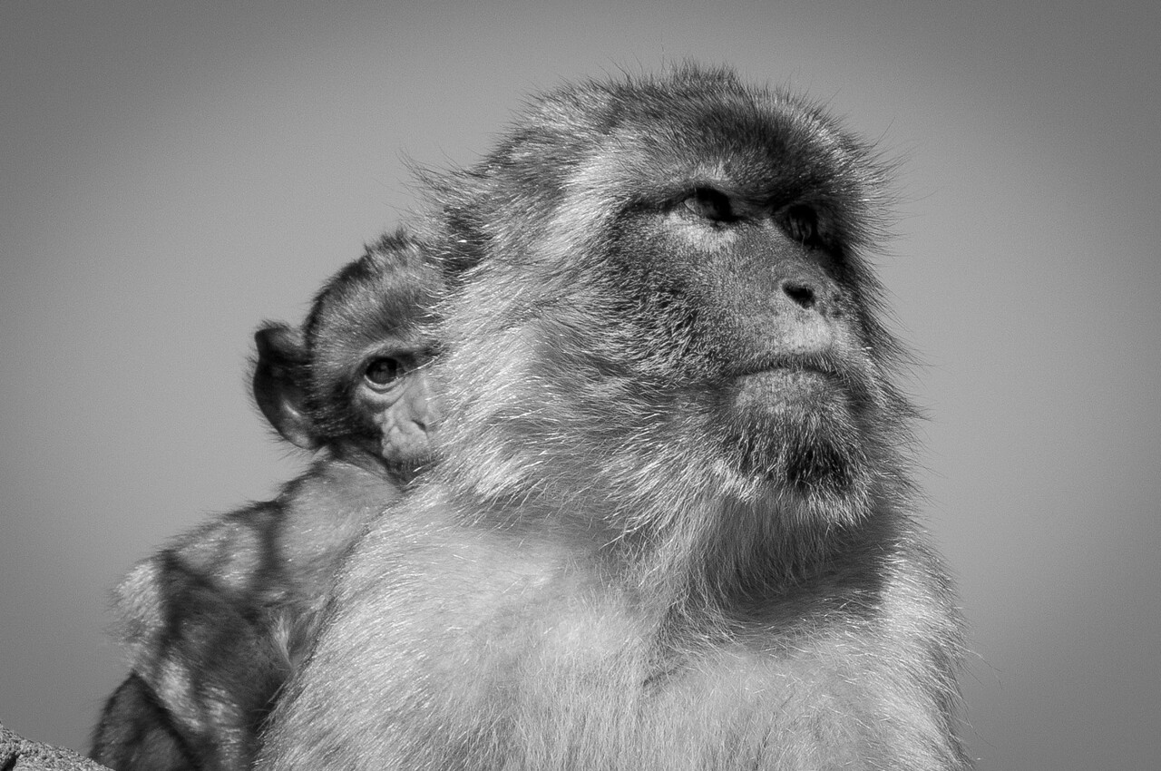 Close-up shot of a mother ape in B&W - Gibraltar