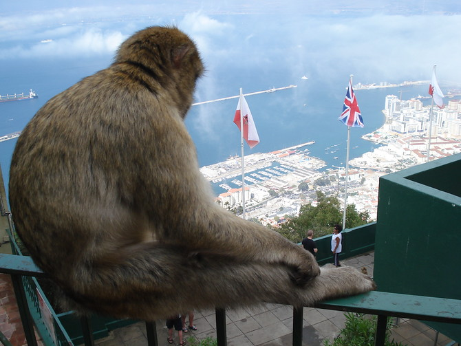 Barbary Ape Over Gibraltar
