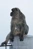Gibraltar Apes 1